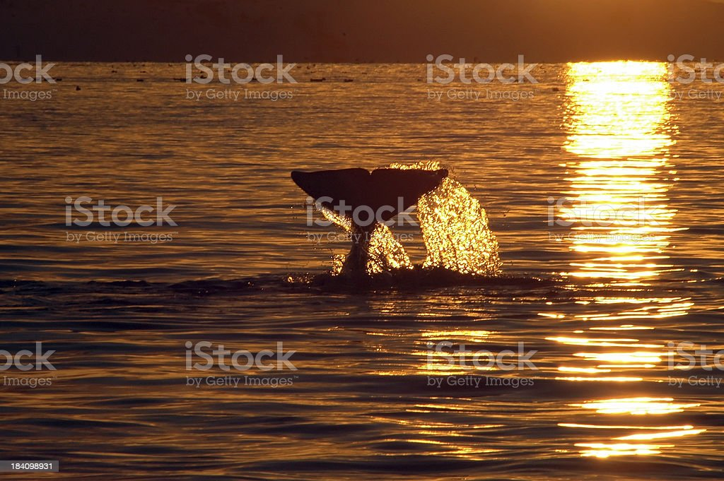 Orca, killer Whale stock photo