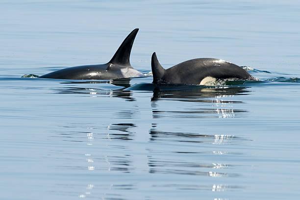 Orca, Monterey stock photo