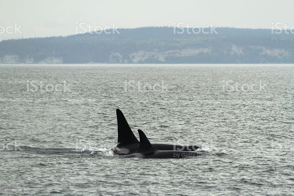 Orca mother and child stock photo