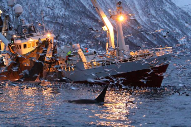 Orca ou baleia assassina, orca Orcinus, alimentando-se de arenques perto de barco de pesca no Atlântico Kaldfjord, Tromso, Noruega, - foto de acervo