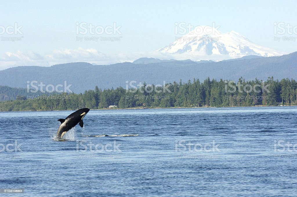 Orca playing in the sound stock photo