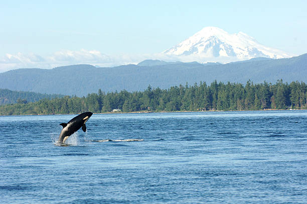 Orca playing in the sound Orca jumping out of the water with mountain in the background puget sound stock pictures, royalty-free photos & images