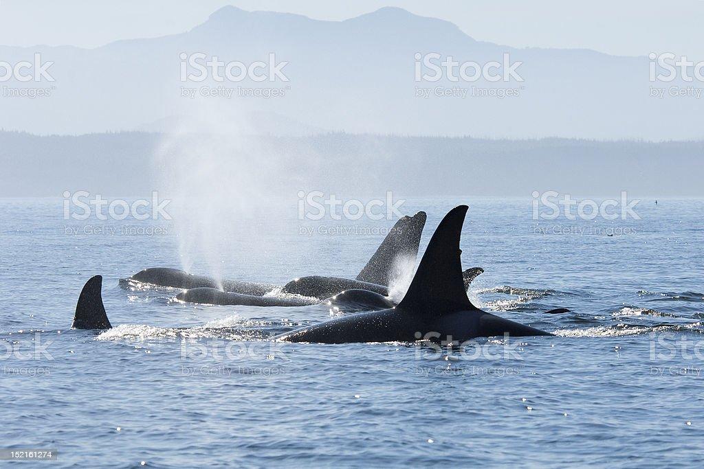 Orca pod in resting line stock photo