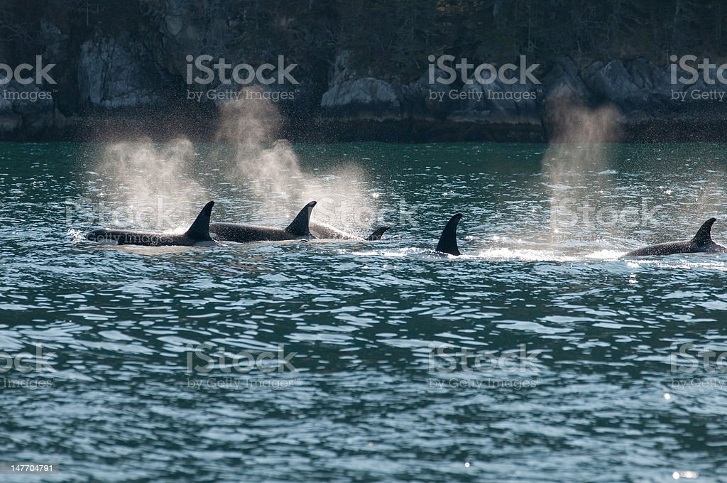 Orca pod spouts stock photo