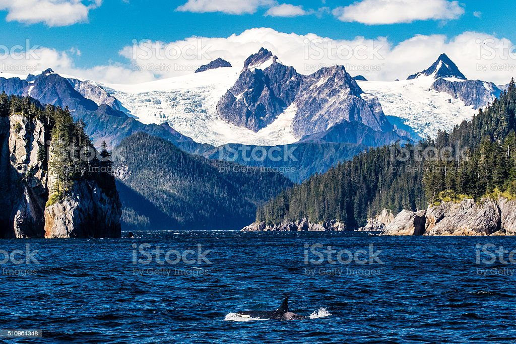 Orca porpoising by glaciers stock photo