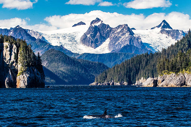 Orca porpoising by glaciers A killer whale comes to the surface below the massive glaciers of the Kenai Fjords in Alaska dorsal fin stock pictures, royalty-free photos & images