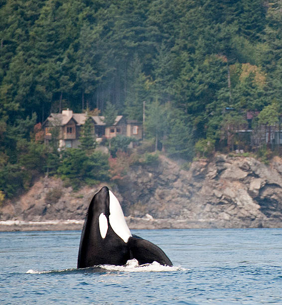 Orca Spy Hop stock photo