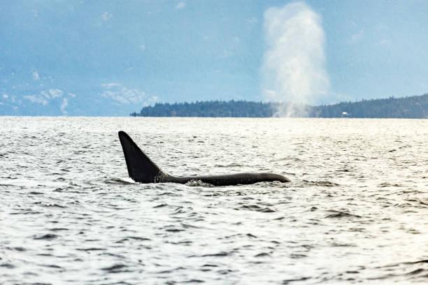 Orca-Sonnenuntergang-Spray – Foto