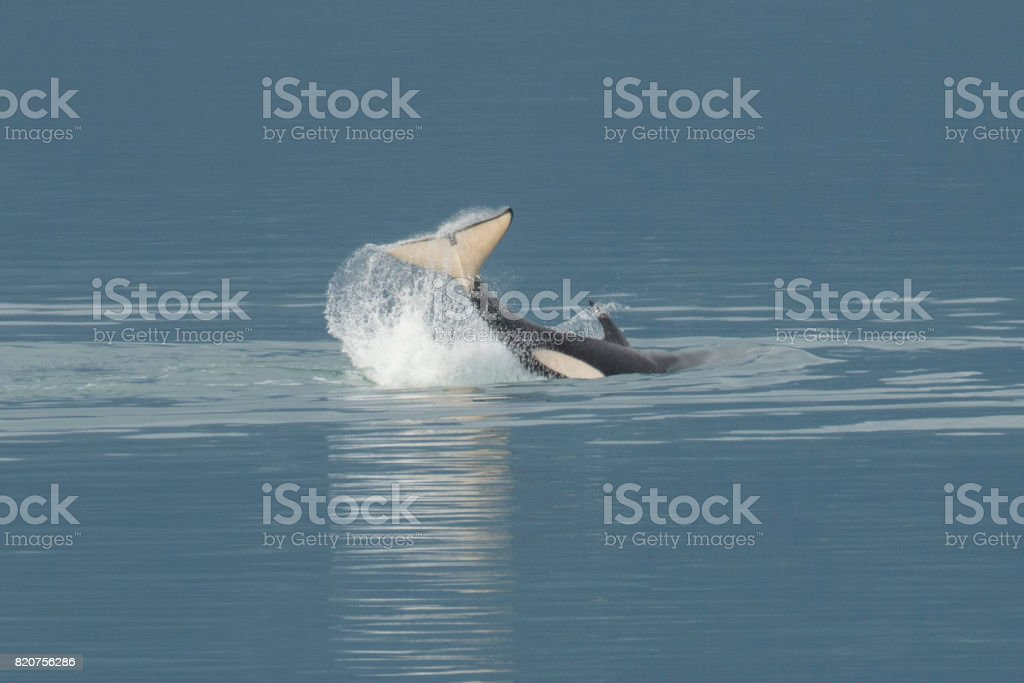 Orca cauda arremessando - foto de acervo