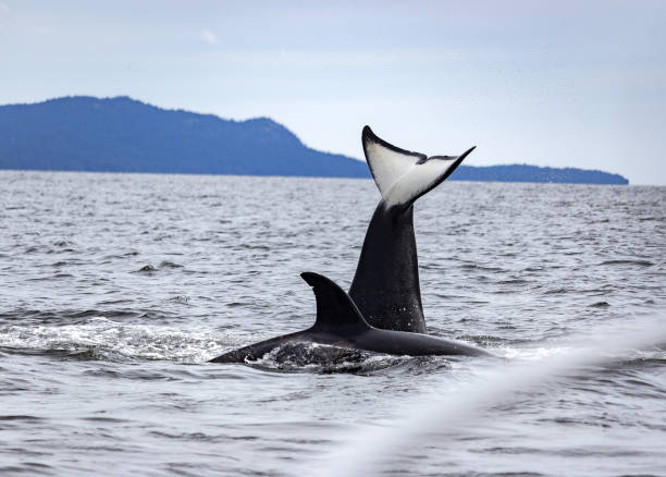 Orca-Tee-Tail – Foto