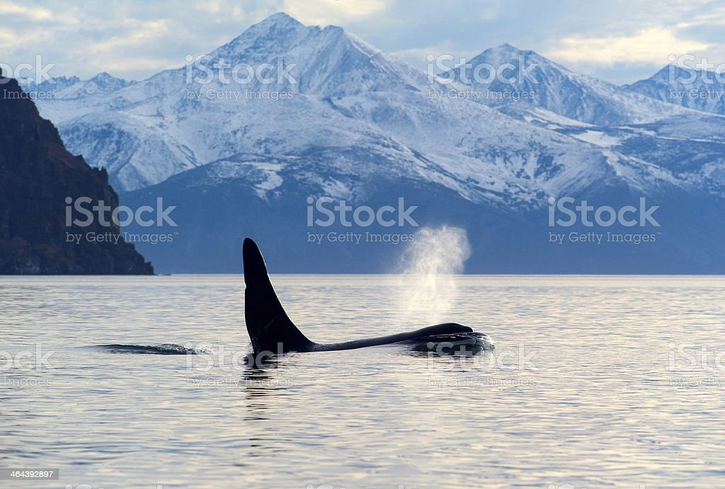 Orca whale blowing out water by snow covered mountains stock photo