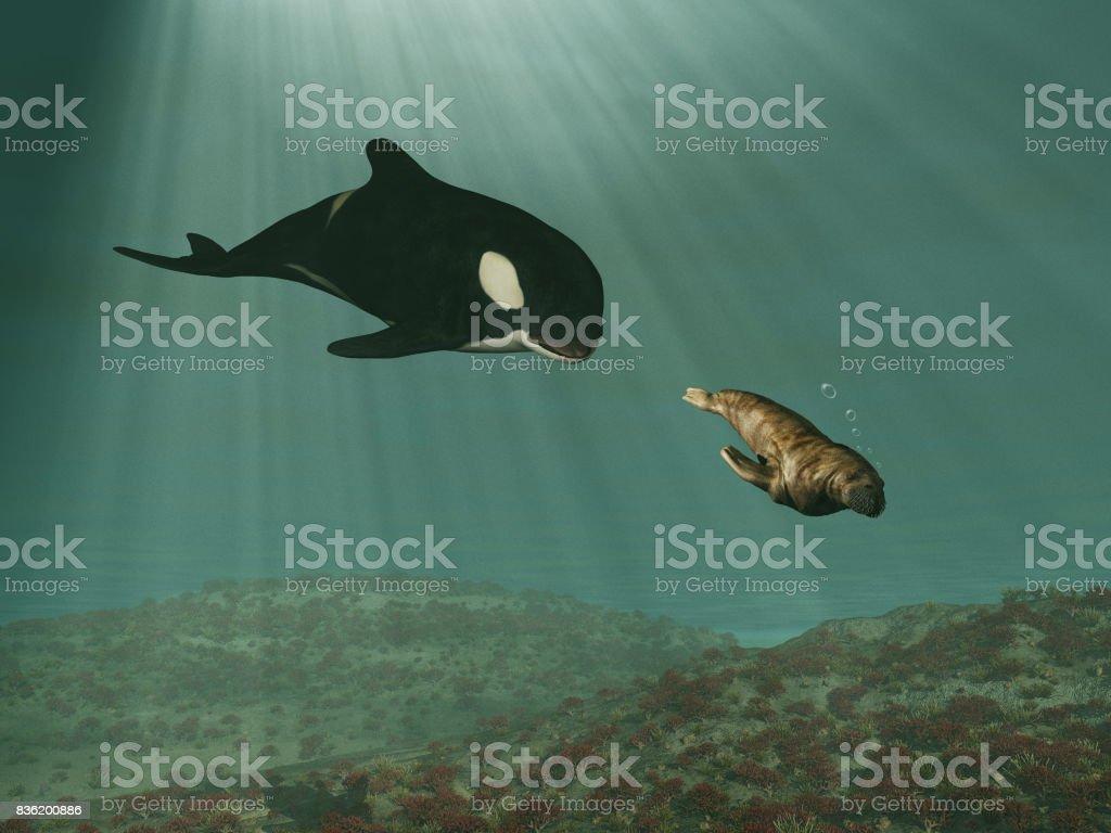 Orca Wale jagen ein Walross – Foto