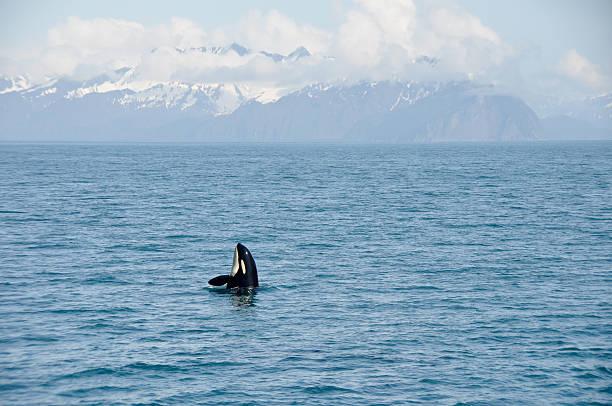 Orca Whale in Resurrection Bay, Alaska Kenai Fjord National park stock photo