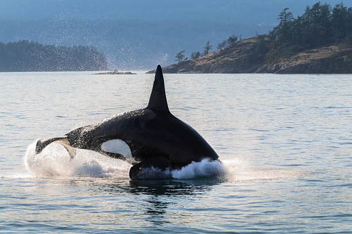 Orca whale swimming along the shores of Vancouver Island.