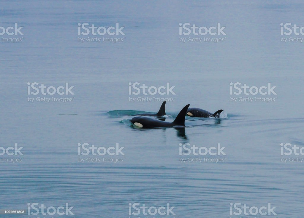 Orca Whales, Inside Passage, Alaska stock photo