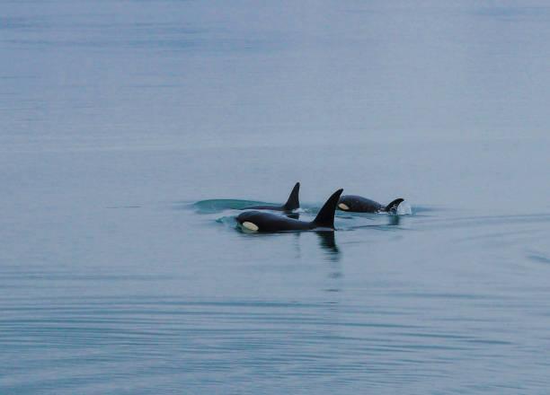 Orca Whales, Inside Passage, Alaska stock photo
