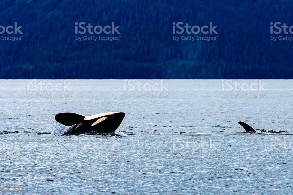 Orcas in Prince William Sound stock photo