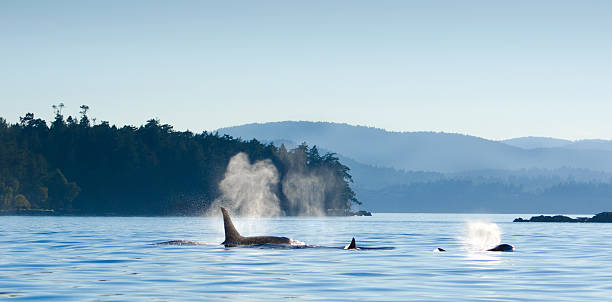 Orcas Killer Whales Blowing, Victoria, Canada Whale watching activity around Vancouver Island, Victoria, B.C. Canada. vancouver island stock pictures, royalty-free photos & images