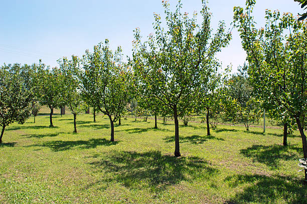 Orchard Apple Tree and Apricot Tree - Photo