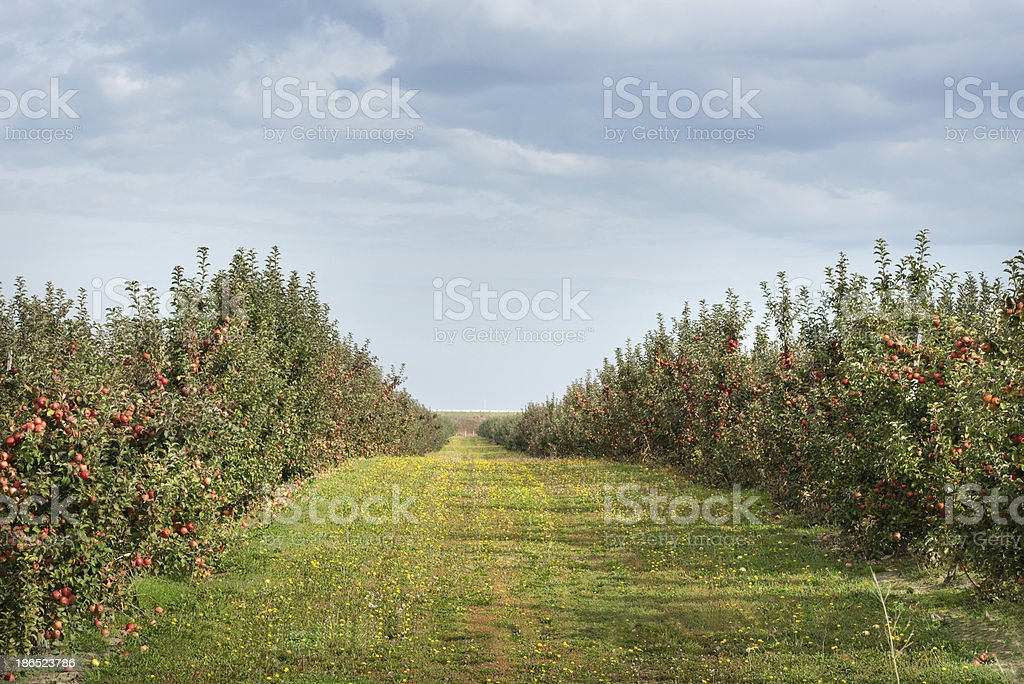 orchard apples royalty-free stock photo
