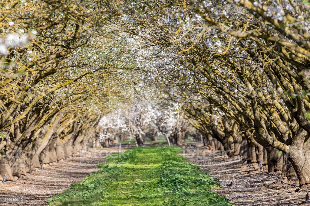 Orchard, Central Valley, California stock photo