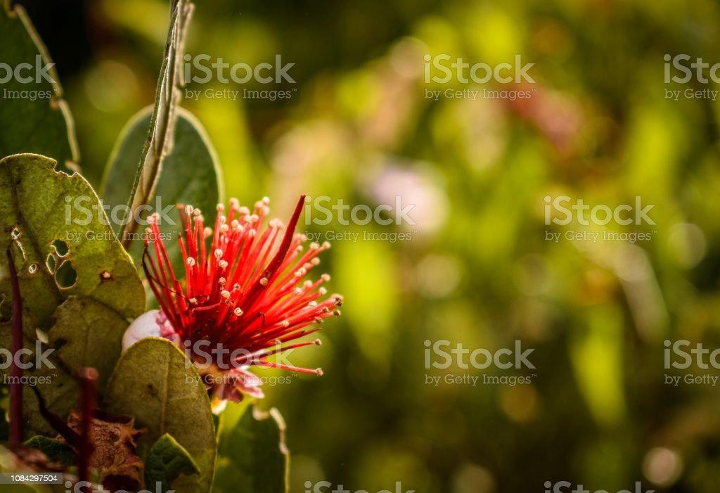 Orchard feijoa tree flower before fruit in summer stock photo