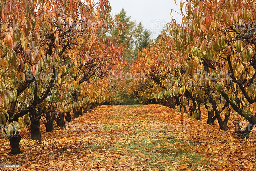 orchard in fall royalty-free stock photo