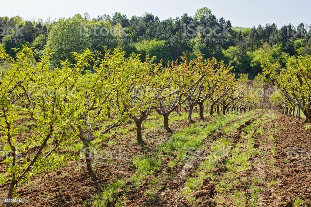 Orchard na primavera  - foto de acervo