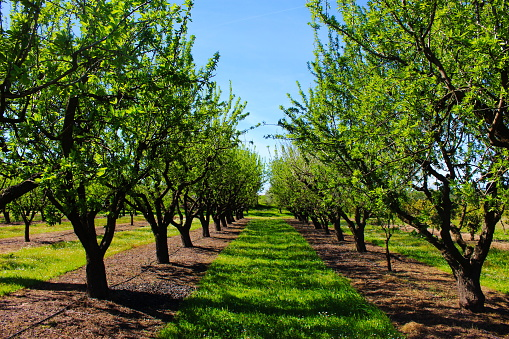 Orchard in the spring before almond blossoms. Between two rows of almond trees. Professional conventional almond orchard. Beja, Portugal.