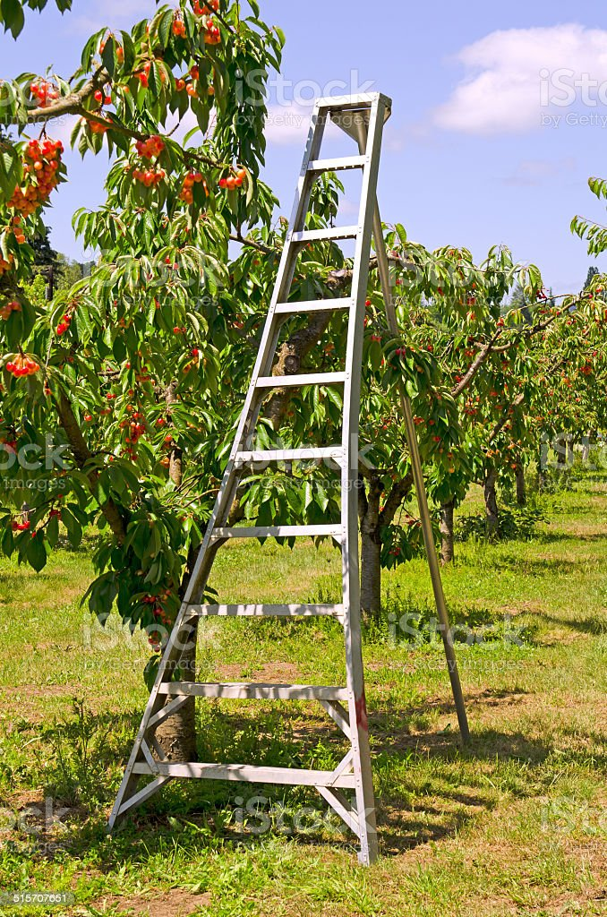 Orchard Ladder Stock Photo & More Pictures of Agricultural