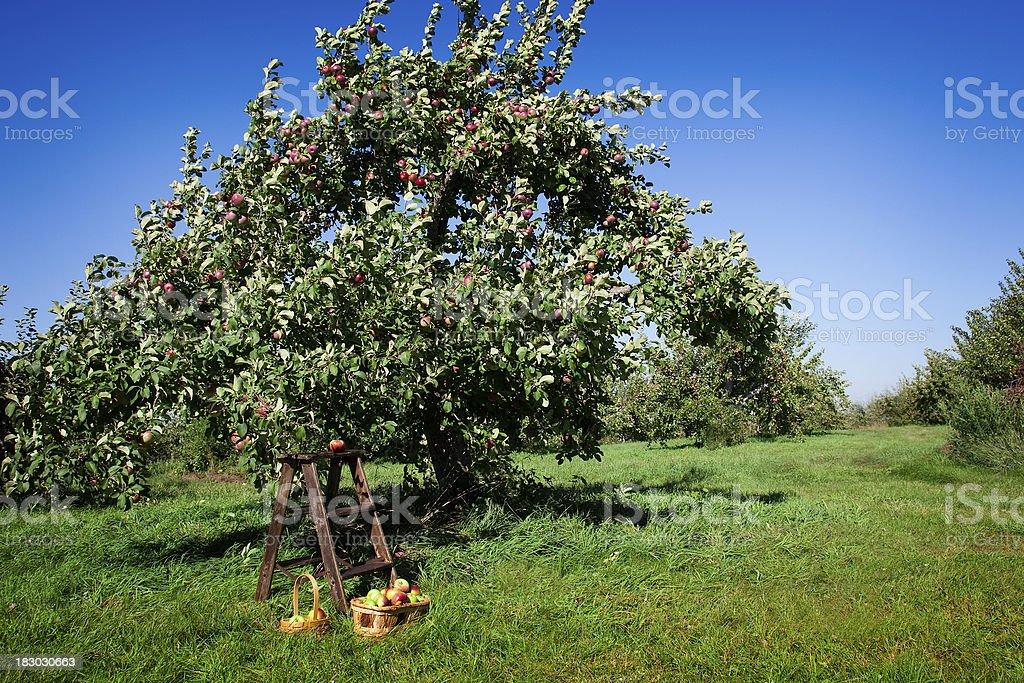Orchard landscape, stepladder and apple basket royalty-free stock photo
