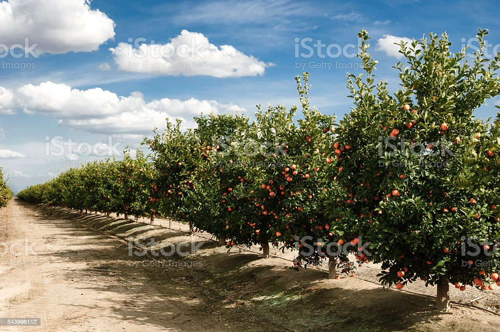 Orchard of Mandarin Orange Trees stock photo