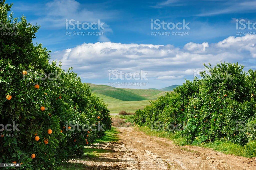 Orchard de naranja de ombligo árboles - foto de stock
