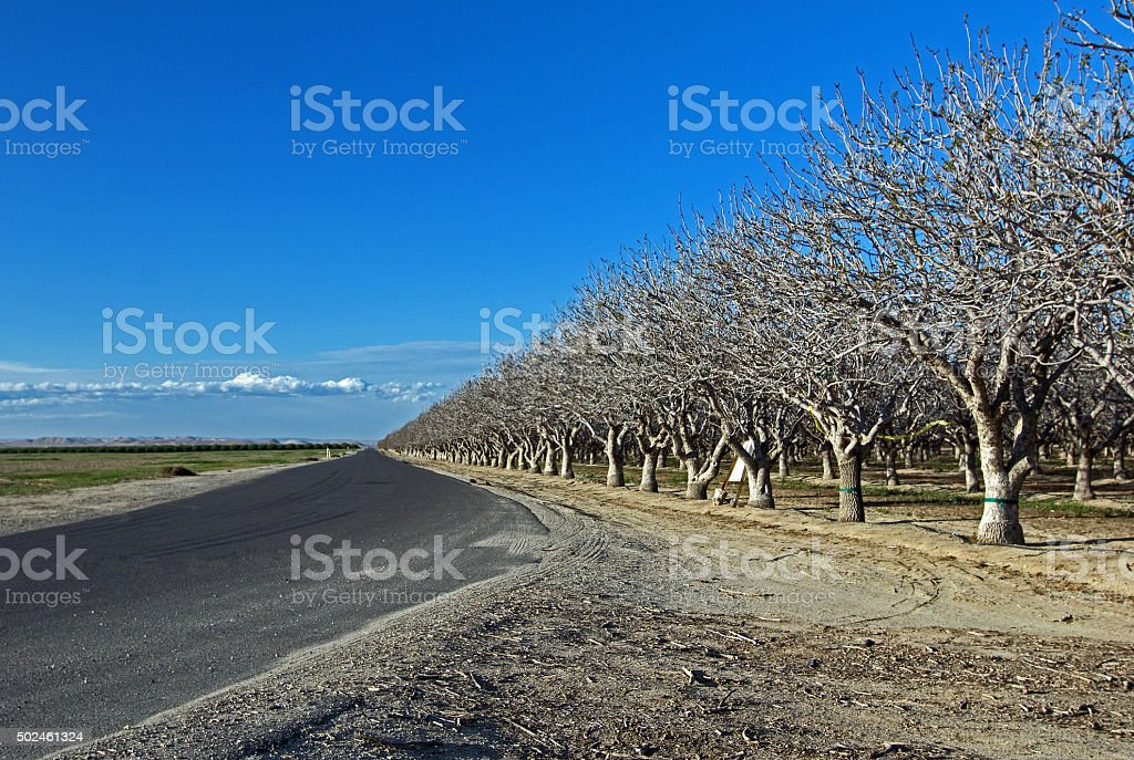Orchard of Nut Trees Central California near Bakersfield CA stock photo