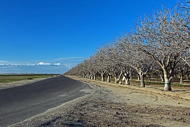 Orchard of Nut Trees Central California near Bakersfield CA stock photo