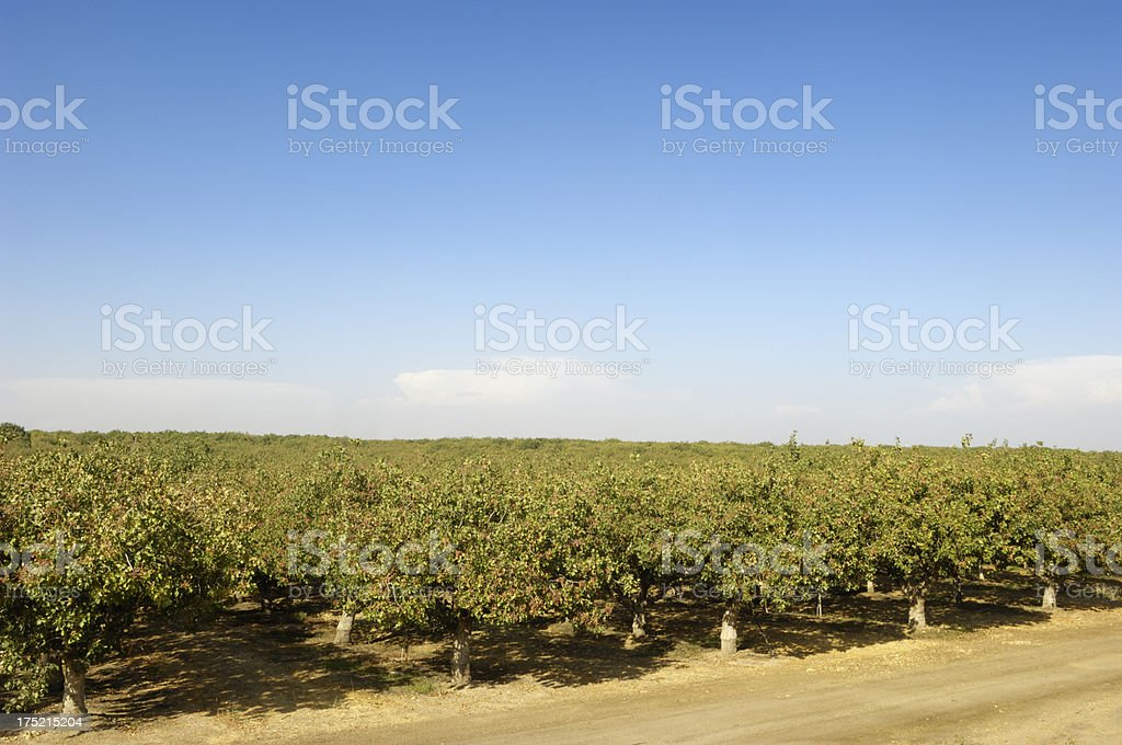 Orchard of Pistachio Nut Trees royalty-free stock photo