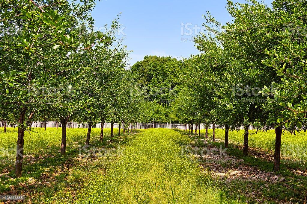 Orchard of plum trees stock photo