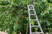 Orchard of ripe Bing Cherries (Prunus avium), with ladder in position for workers to harvest ripe crop.\n\nTaken in Hollister, California, USA