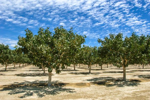 Huerta de la maduración de las tuercas de pistacho en bajo cielo nublado - foto de stock