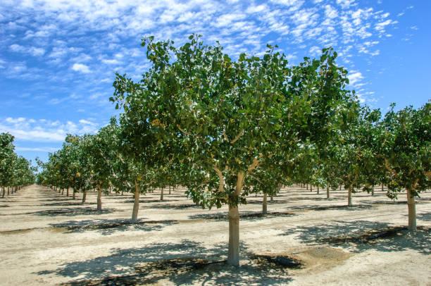Huerta de la maduración de las tuercas de pistacho - foto de stock