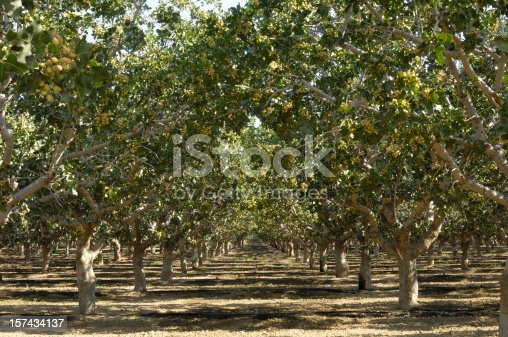 Deep focus image of ripening pistachio (Pistacia vera) nuts growing in clusters on a central California orchard.