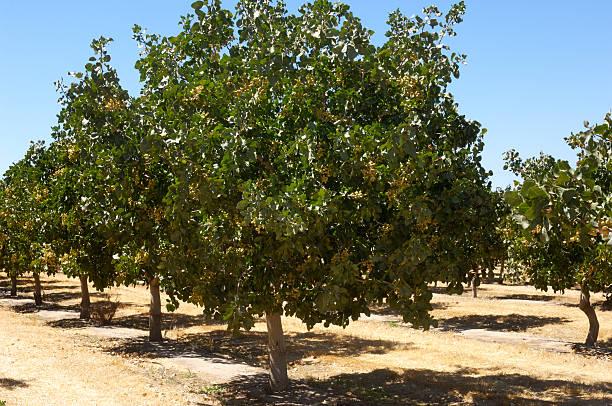 Orchard de Ripening tuercas de pistacho - foto de stock
