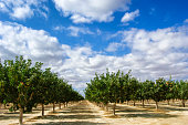 Deep focus image of ripening pistachio (Pistacia vera) nuts growing in clusters on a central California orchard below a cloud filled sky.
