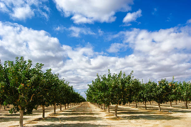 orchard von ripening pistazien  - obstgarten stock-fotos und bilder