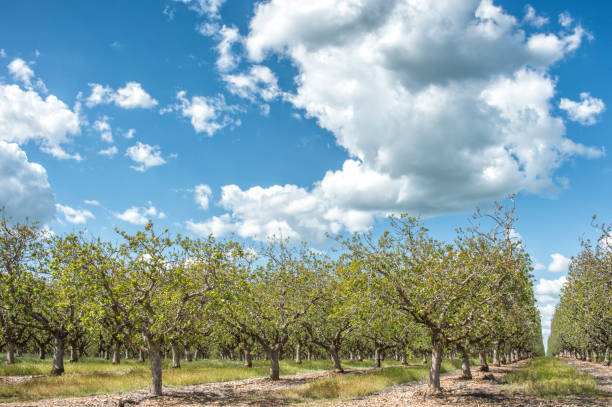 Huerto de árboles de pistacho de maduración - foto de stock