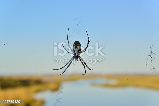 An Orchard Orb Weaver has built her web along a wetlands area in Assateague Island National Seashore looking out over sinepuxent bay waiting for the unsuspecting male to come and fertilized her egg sac