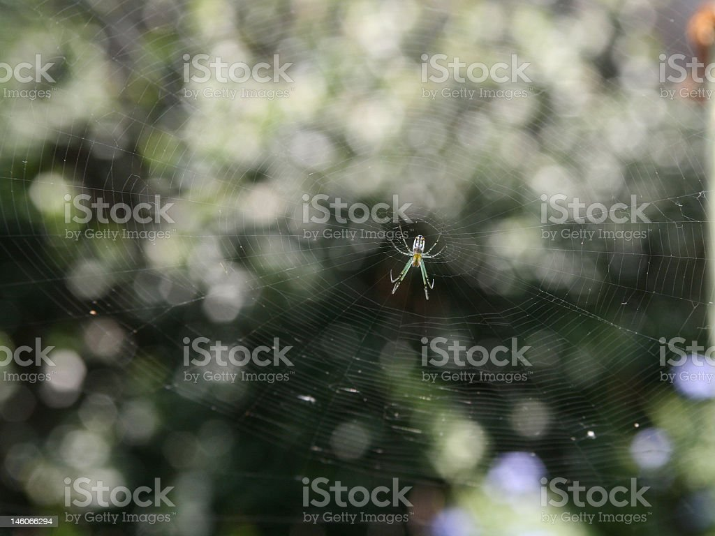 Orchard Orbweaver Spider and Giant Web stock photo
