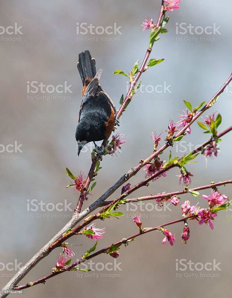 Orchard Oriole, Icterus Spurius, male bird perching in springtime stock photo