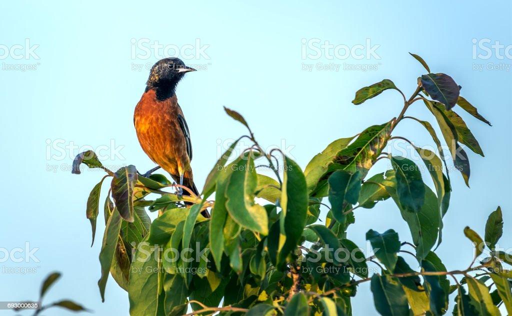 Orchard Oriole Song bird in a green bush in the sun stock photo