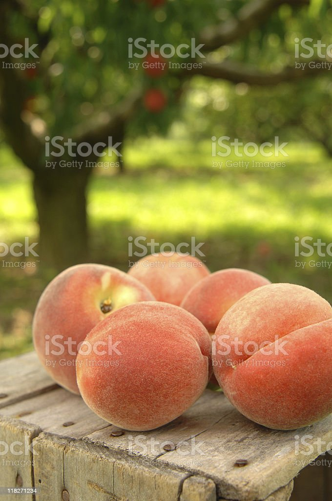 orchard peaches stock photo